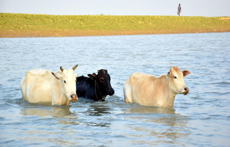 cow-water