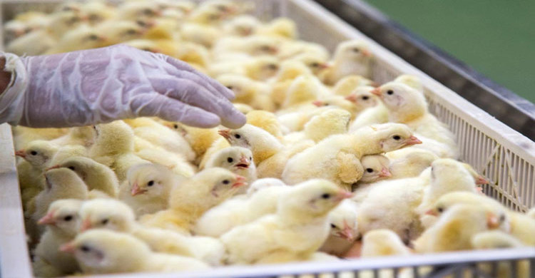 hen-in-(1)