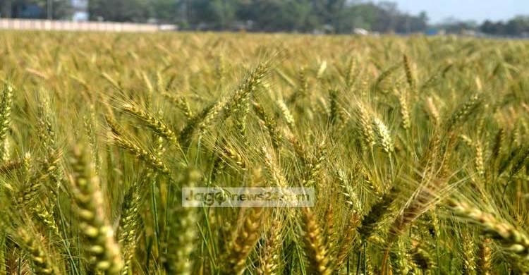 Wheat-field-bd