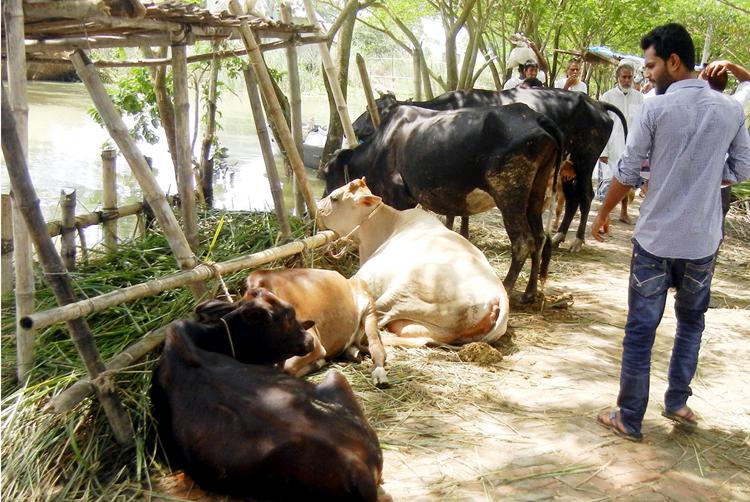 faridpur-Cow