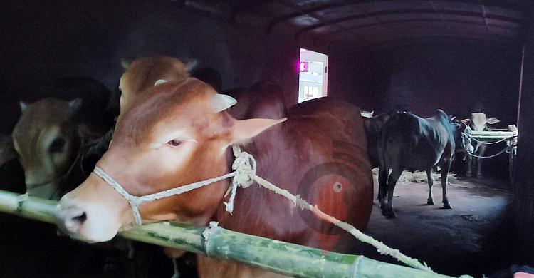 cattle-special-3.jpg