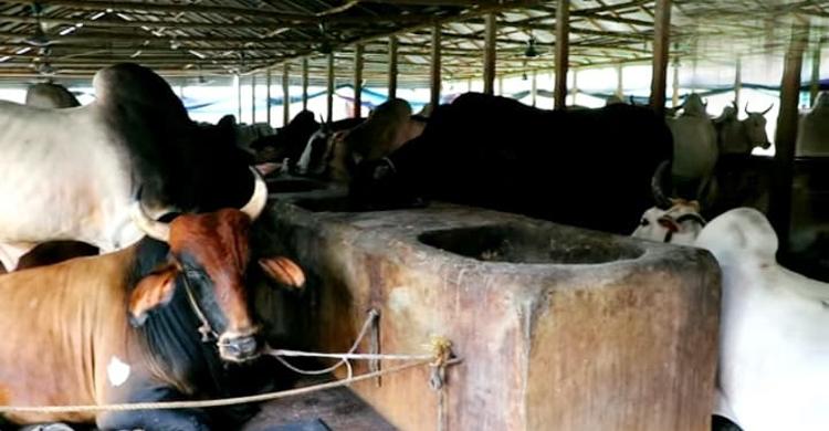 Cow-(2)