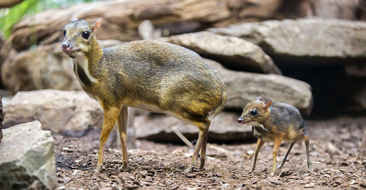 deer-in