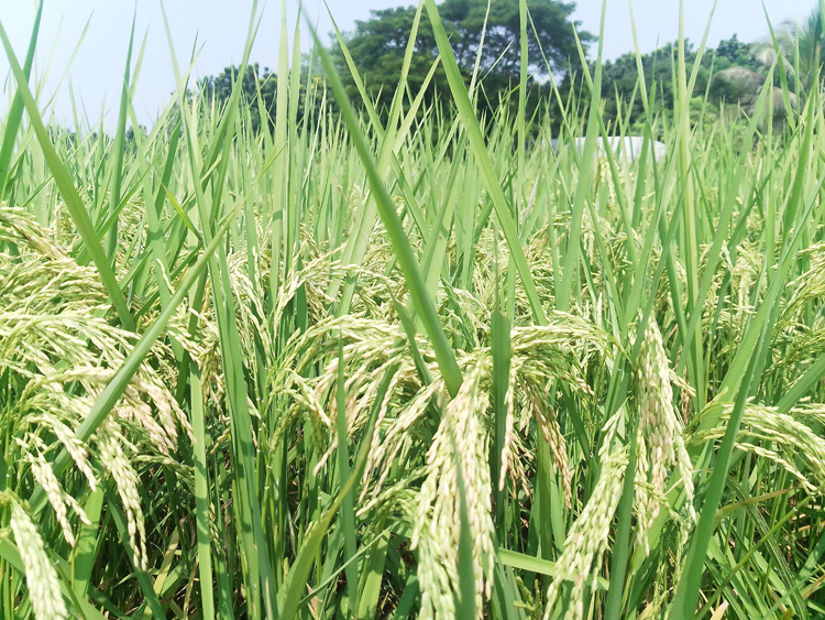 Magura-Paddy-(2).jpg