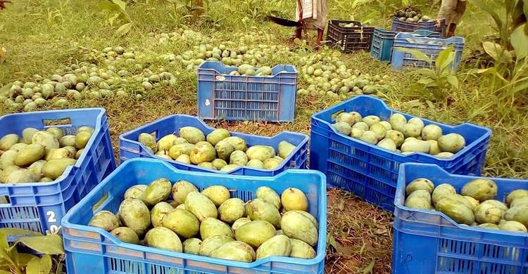Mango-Bagha