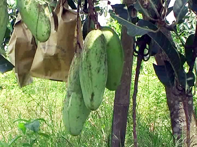 mango-in-(1)