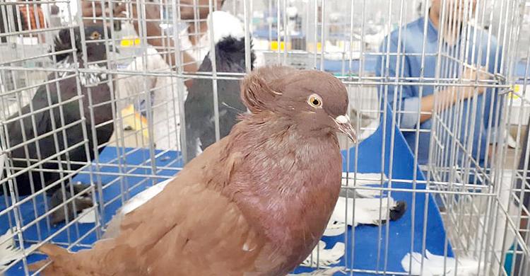 Pigeon-Farm