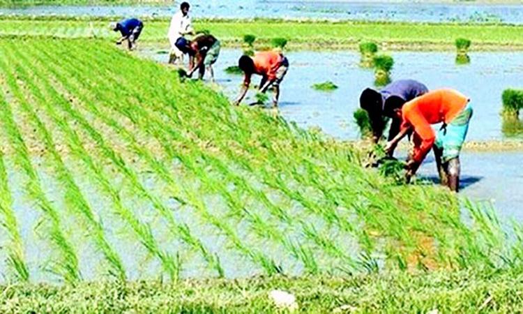 Planting-aus-paddy-seedling