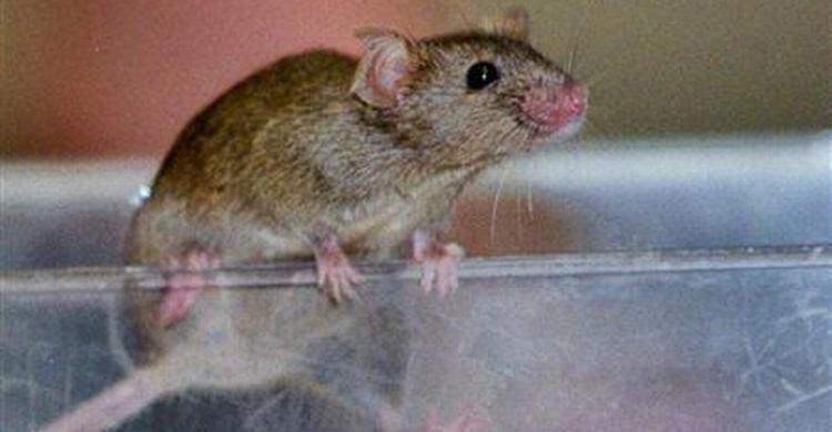 Rat-(5).jpg