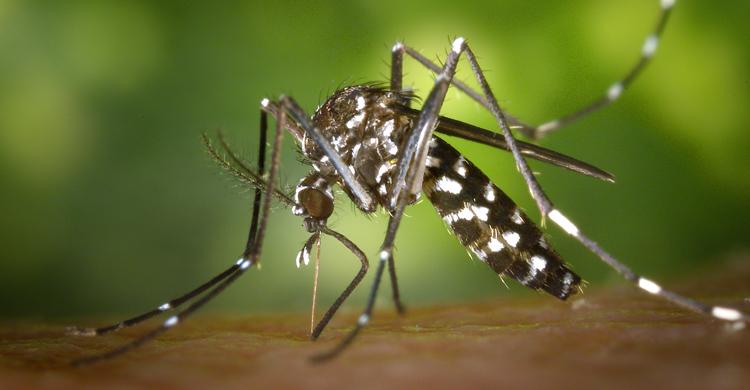 Aedes-aegypti-2