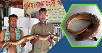 পদ্মায় চায়না দোয়ারিতে ধরা পড়ল বিলুপ্তপ্রায় বামুস মাছ
