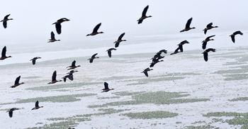 বাইক্কাবিলে পরিযায়ী পাখিদের ভিড়