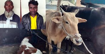 বগুড়ায় চুরি হওয়া গরু সিরাজগঞ্জে উদ্ধার