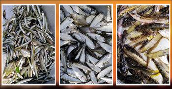 বাঁওড়ে ফিরছে ৮ প্রজাতির বিলুপ্তপ্রায় দেশি মাছ