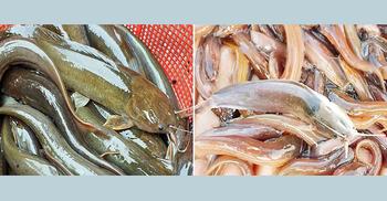 গোঁফযুক্ত মাছ আমদানি করায় চার বাংলাদেশির বিরুদ্ধে অভিযোগ গঠন