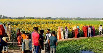 সূর্যমুখী বাগানে 'দর্শনার্থী'র উৎপাত, বিপাকে চাষি