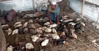 একসঙ্গে মারা গেল ৭০০ হাঁস, দিশেহারা খামারি