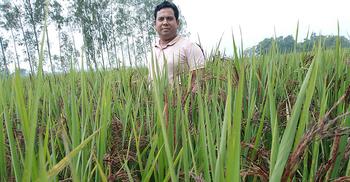 ব্লাক রাইস চাষ করছেন সিঙ্গাপুর ফেরত সোহাগ
