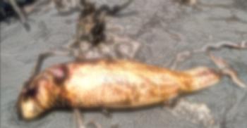 কুয়াকাটা সৈকতে ভেসে এলো আরও একটি মৃত ডলফিন