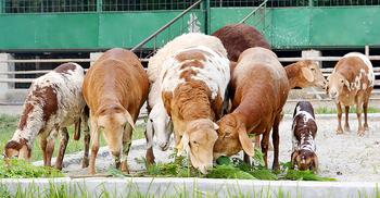 চুয়াডাঙ্গায় কৃত্রিম মরুভূমিতে বেড়ে উঠছে দুম্বা