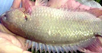 জ্যান্ত কই মাছ মুখে রেখে পানিতে ডুব, গলায় আটকে মৃত্যু