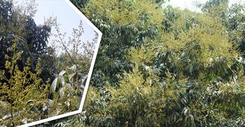 লিচুর রাজ্যে মুকুলের সমারোহ, বাম্পার ফলনের সম্ভাবনা