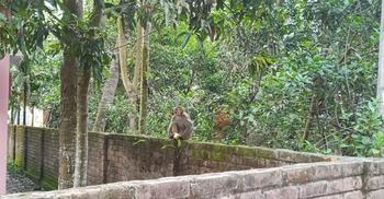 লোকালয়ে ঘুরে বেড়াচ্ছে বানর