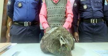 গাছে আশ্রিত আহত ময়ূরটিকে মারছিল স্থানীয়রা, উদ্ধার করল পুলিশ
