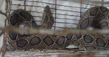 পুকুরে মাছ ধরতে গিয়ে মিলল রাসেল'স ভাইপার