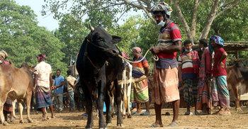 করোনার থাবা গরুর বাজারে, দিশেহারা খামারিরা