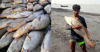 এক জালেই ৪০ লাখ টাকার পোয়া মাছ, ভাগ্যবান জামাল বহদ্দার